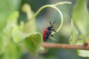 Adult air potato beetle feeding on air potato vine