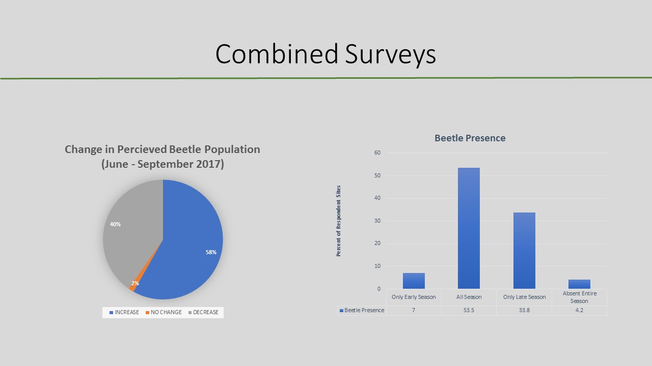 Changes in air potato beetle populations over a summer.